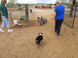 Harper 8 weeks on ducks