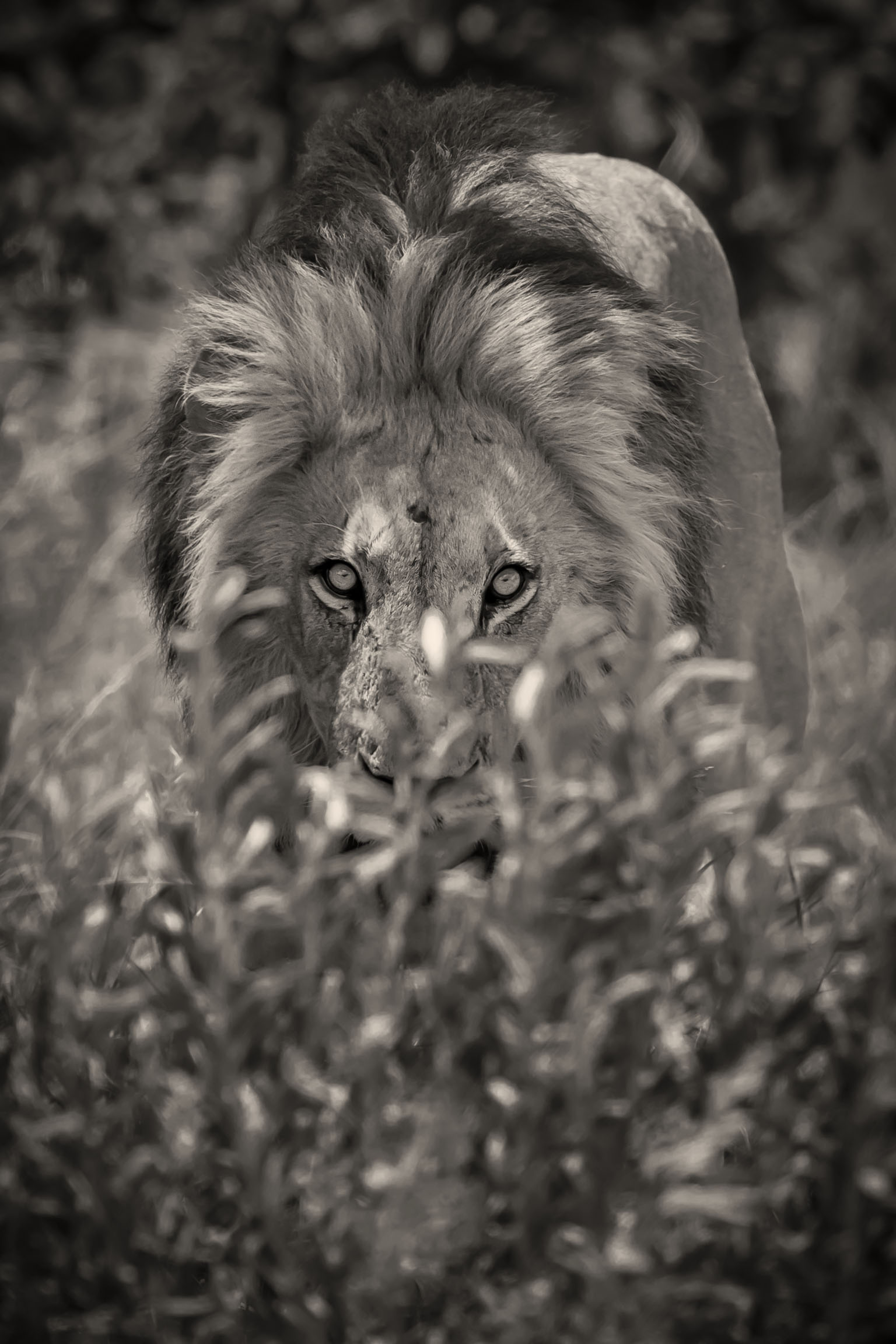 Lion-Okavango-0079