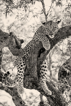 Leopard-Mai-2018-386