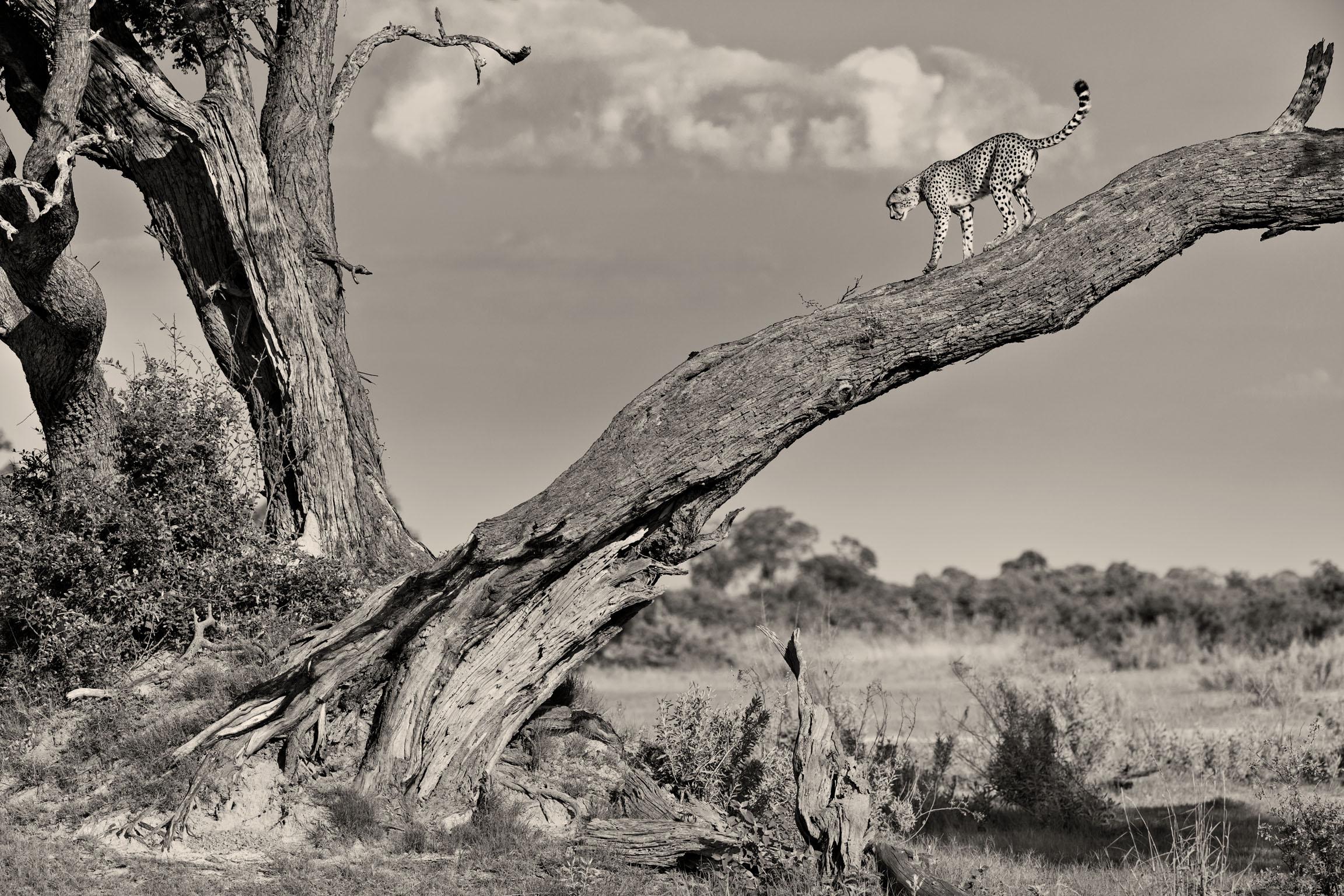Guepard-Okavango