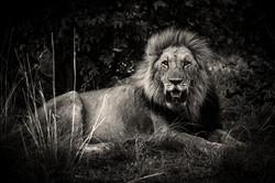 Lion-Okavango-0325