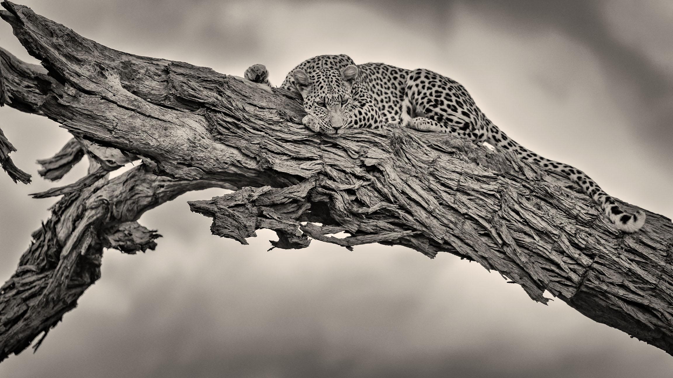 Leopard-Okavango-0029