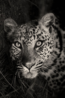 Leopard-Mai-2018-112