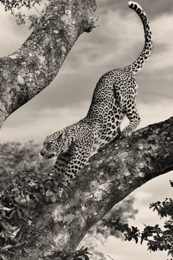 Leopard-Mai-2018-050