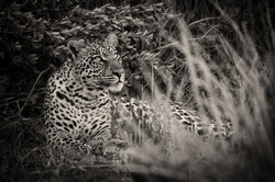 Leopard-Okavango-0570