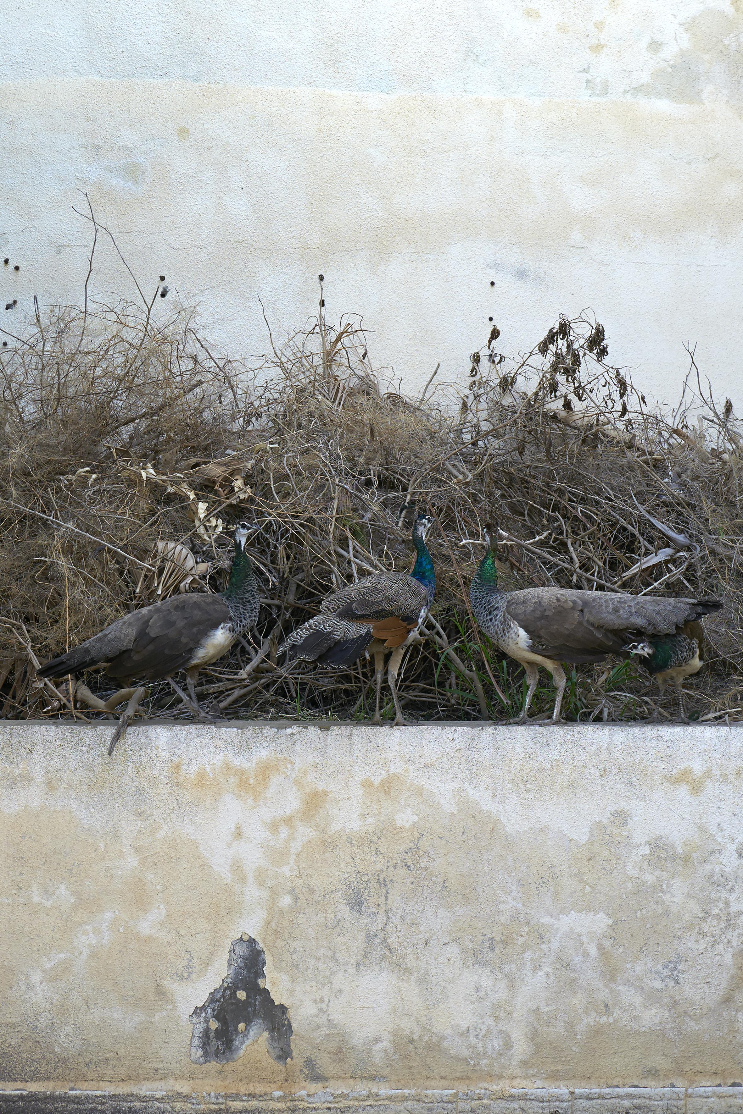 Les_Paons,_Trouville_Algérie