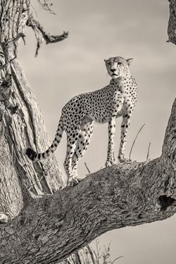 Guepard-Okavango-0141