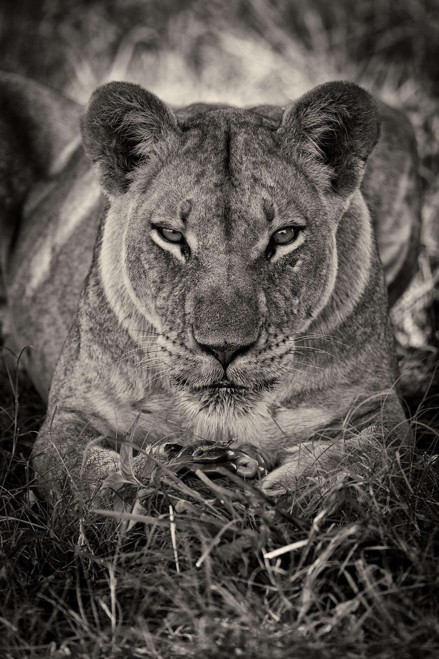 Lionne-Okavango