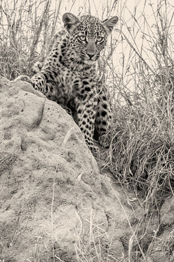 Leopard-Mai-2018-624