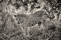 Jaguar-237