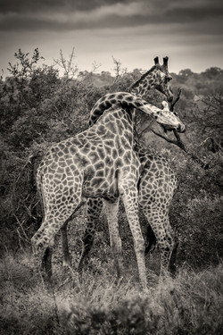 Girafe-Mai-2018