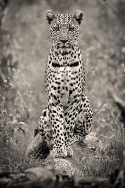 Leopard-Okavango-0463