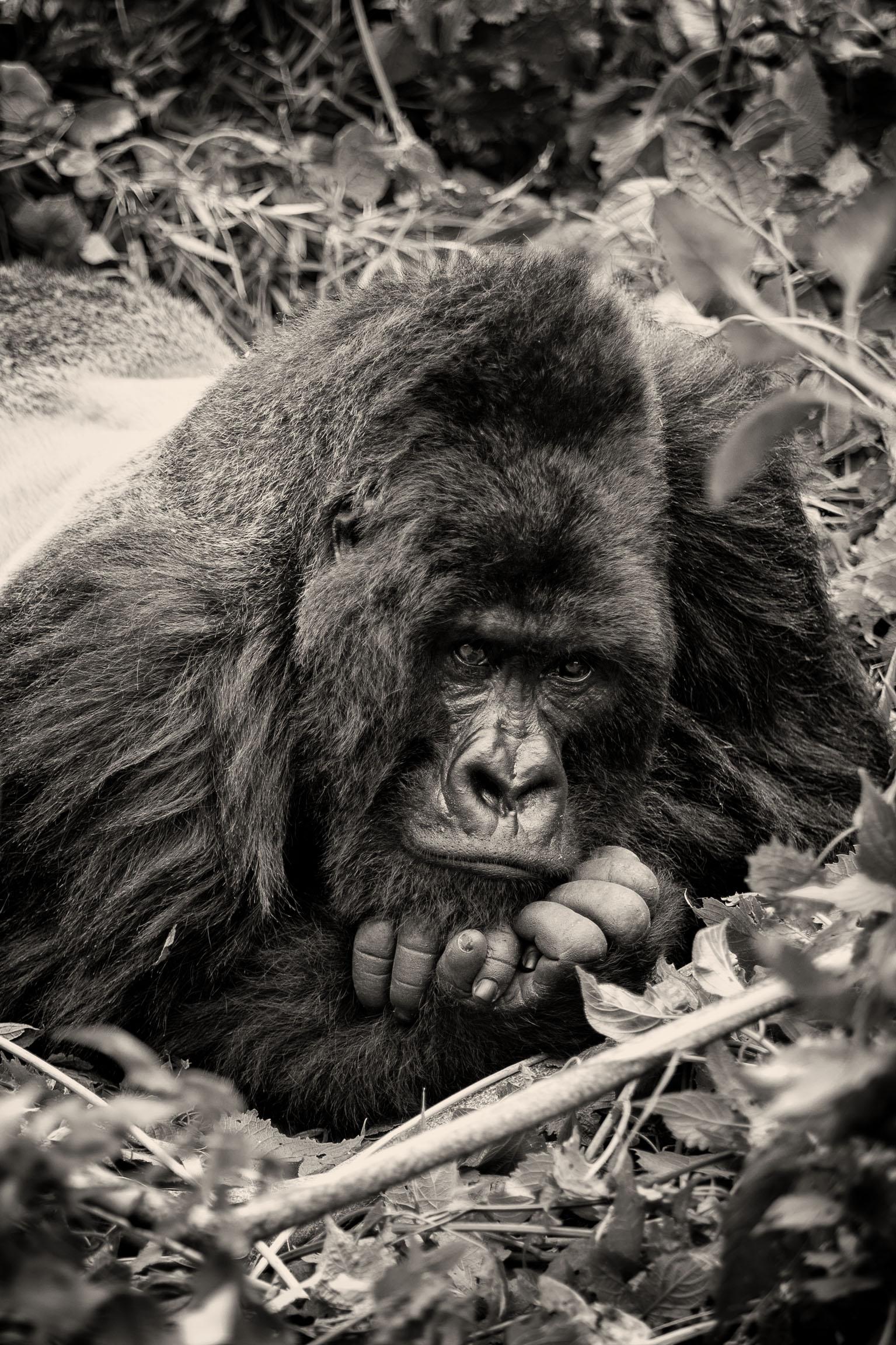 Gorille-Sabyinyo
