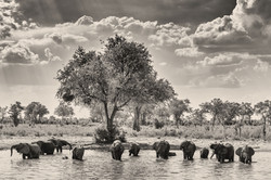 Elephant-Okavango