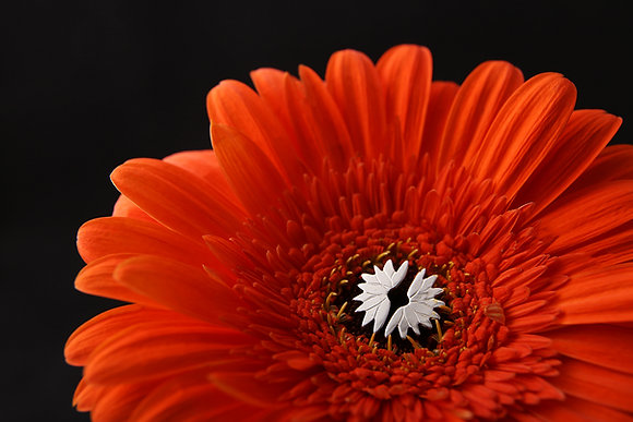 Gerbera Flower Studs