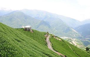 taiwan_tea_mountain.jpg