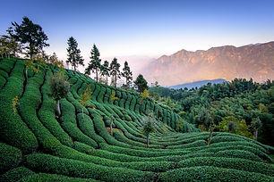 taiwan_mountain_tea.jpg