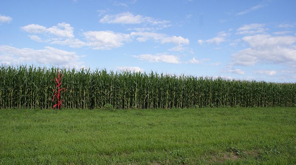 cornfield%20big.jpg