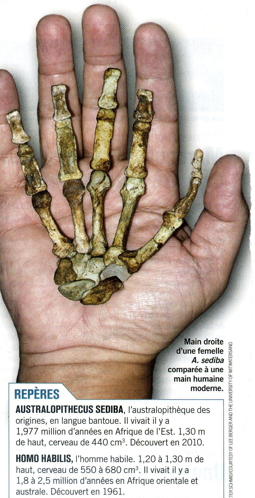 Australopithèque main