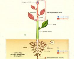 Zones de croissance de la plante