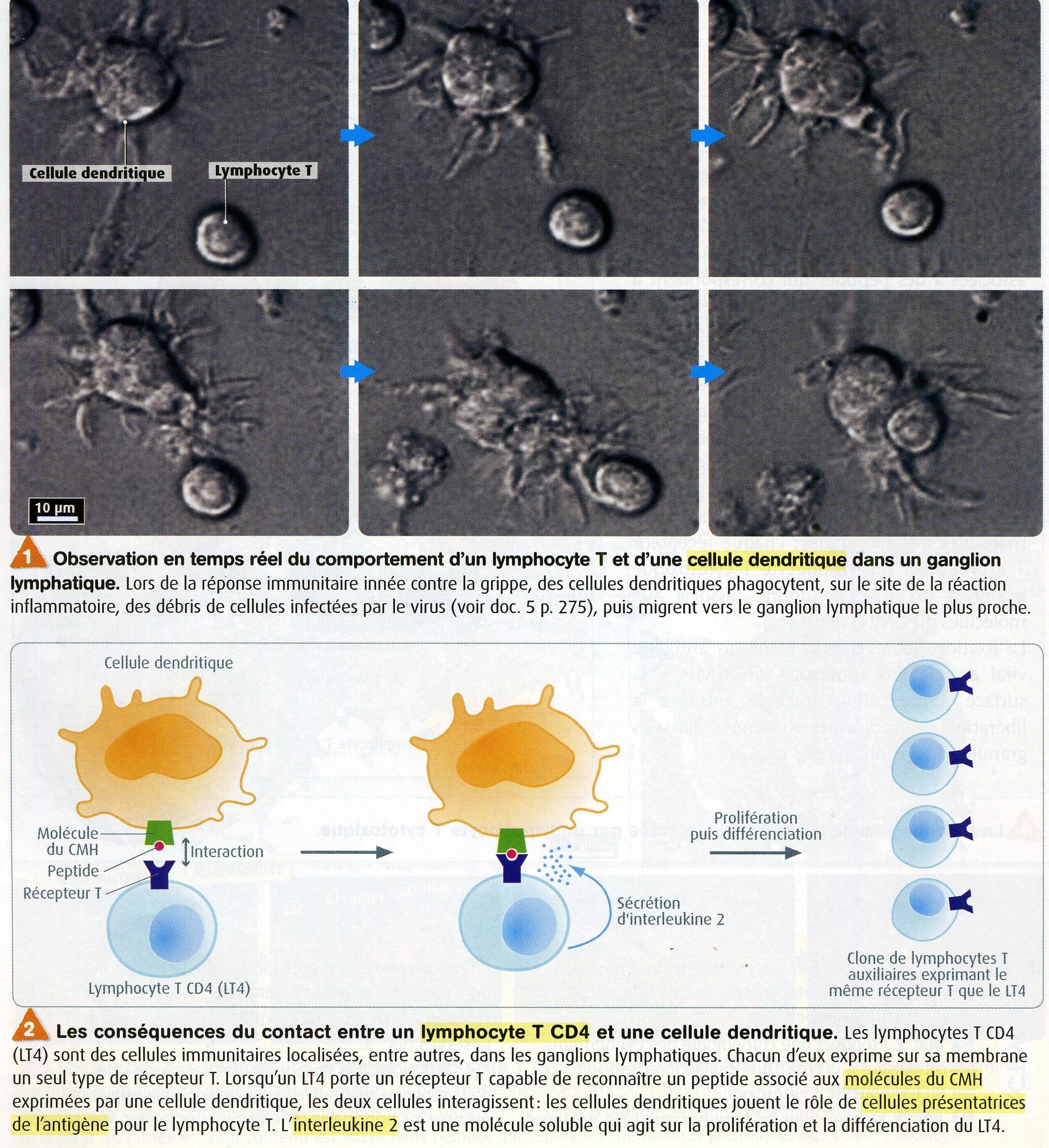 Lympho T et CD4