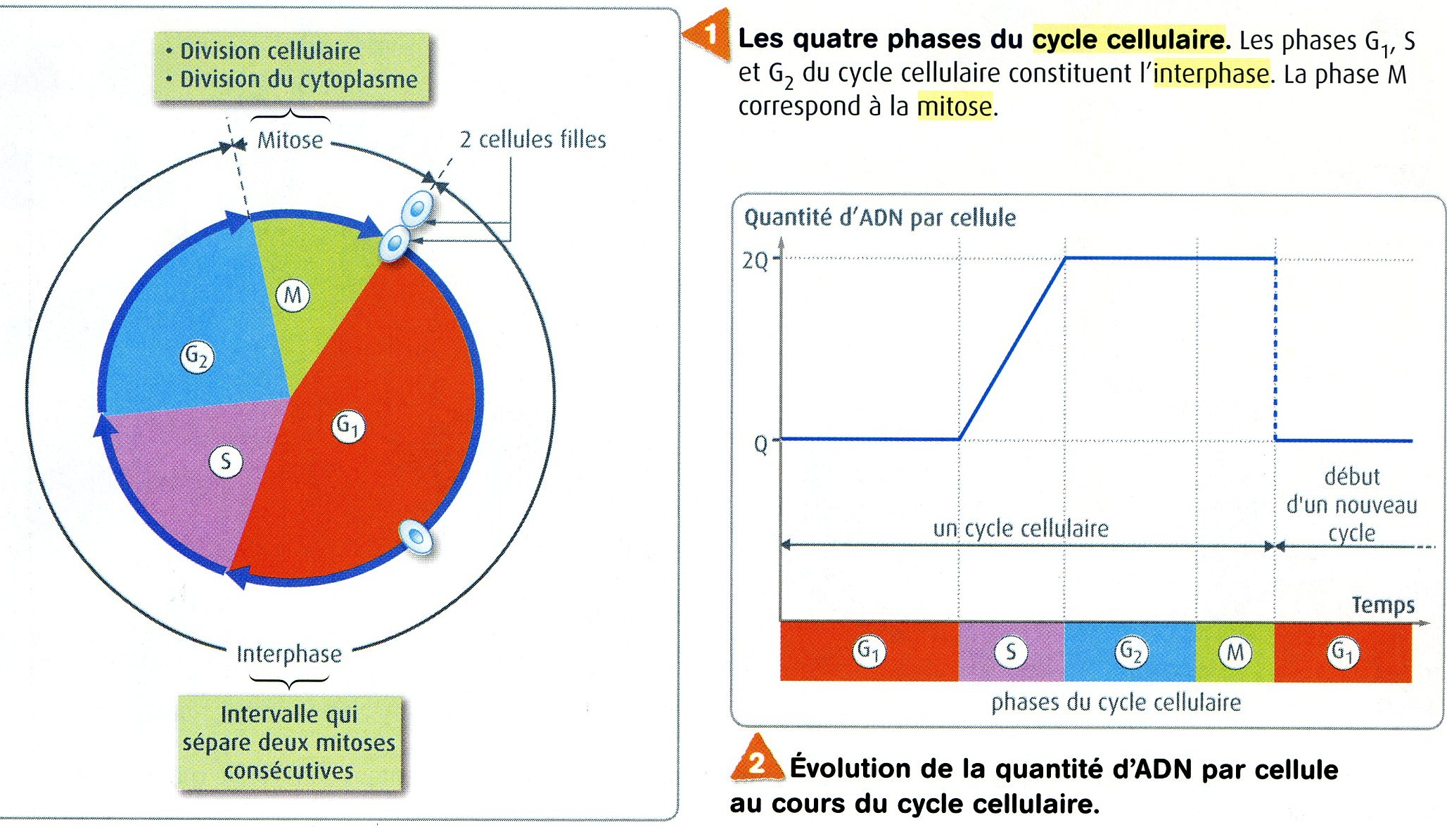 Cycle cellulaire phases