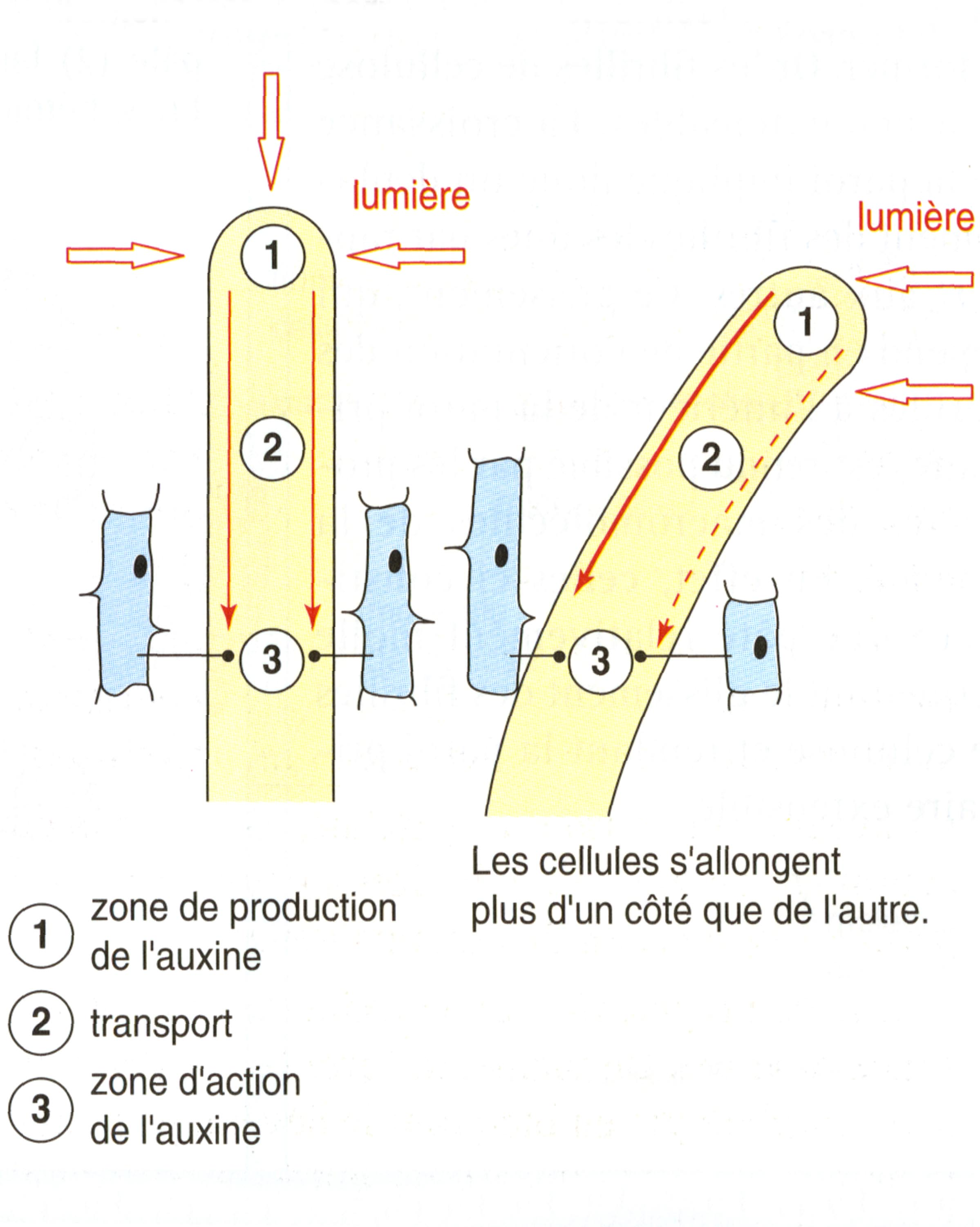Auxine phototropisme explication