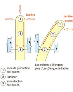 Auxine phototropisme explication