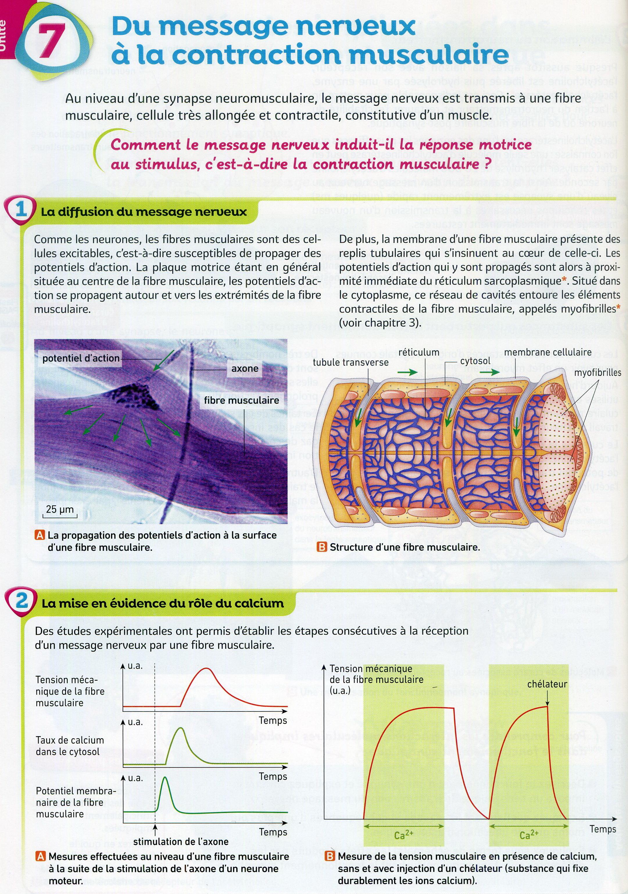 Activité 4 jonction nerf muscle (1)