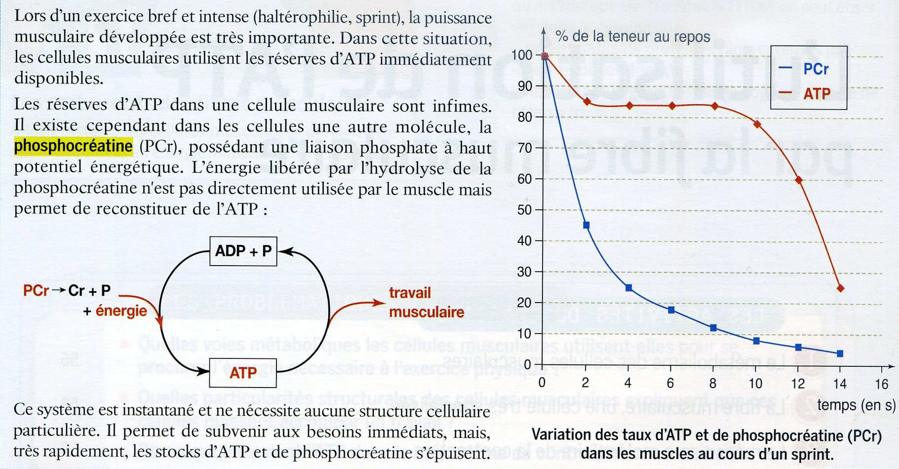 Phosphocréatine et ATP