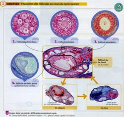 Cycle ovarien évolution des follicules