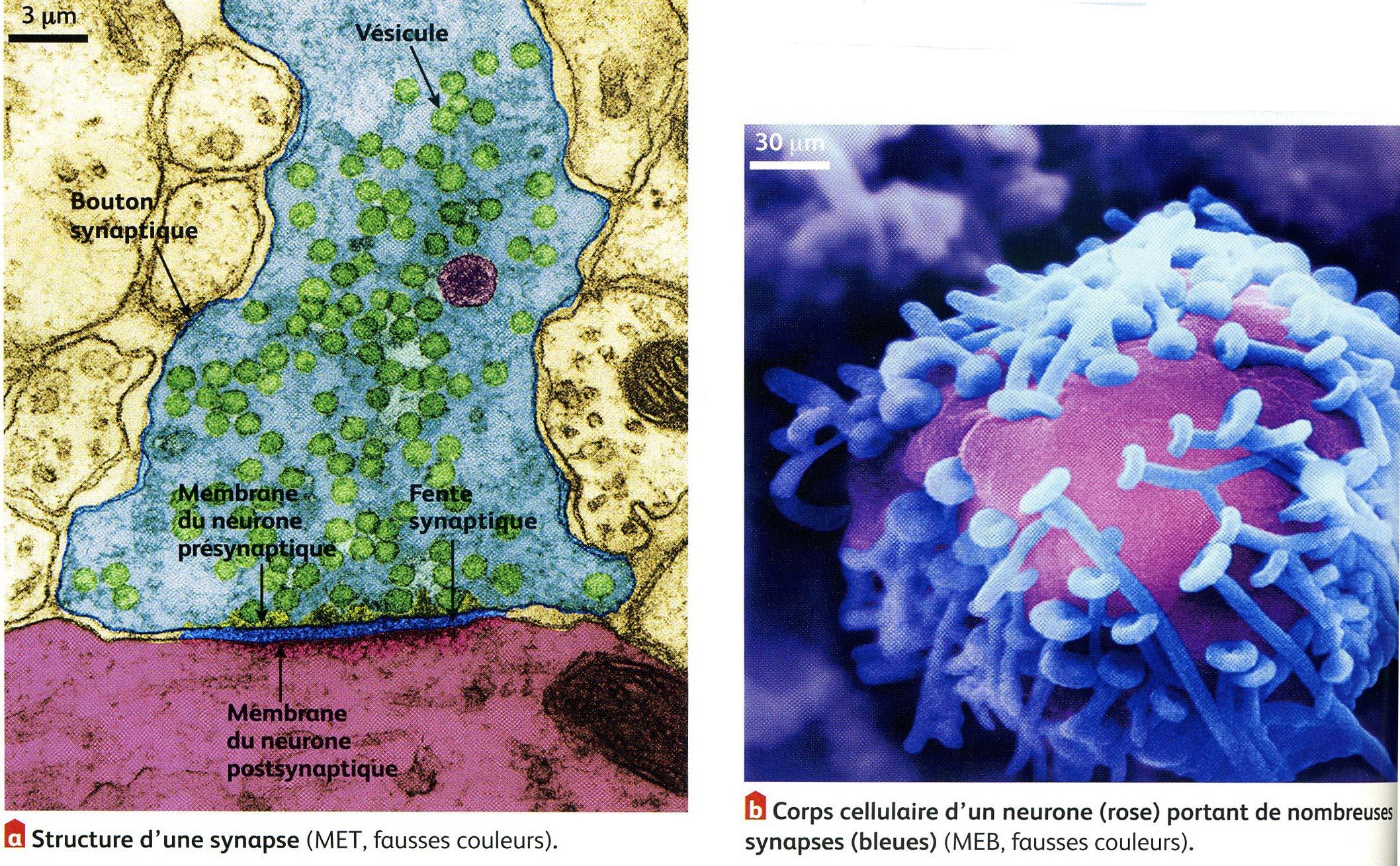 Synapse et connexions