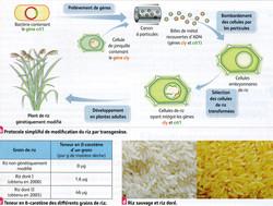 Riz transgénèse (1)
