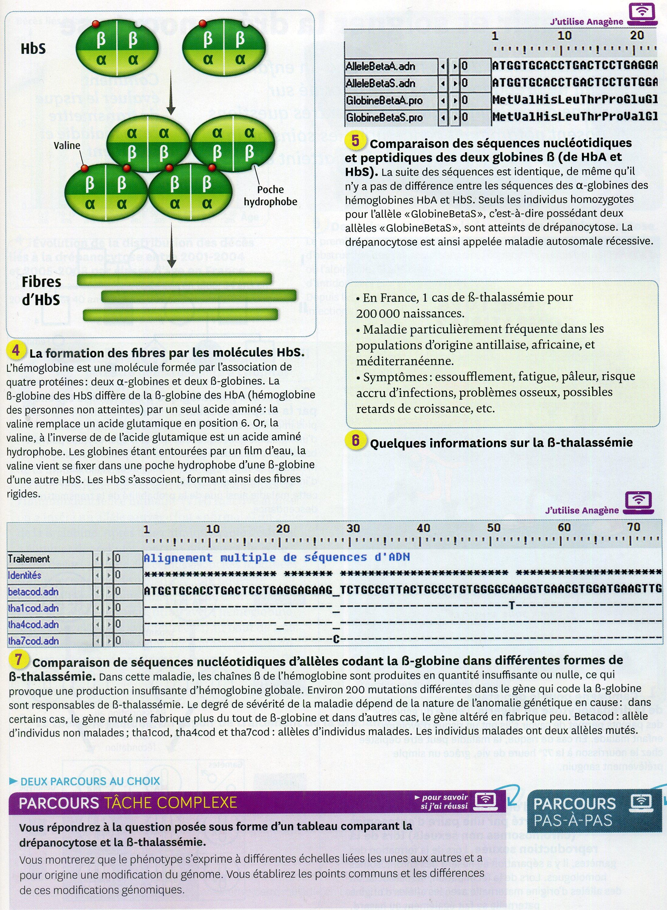 Drépanocytose activité 1 (2)