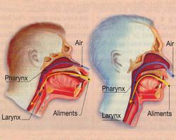 Larynx homme Singe