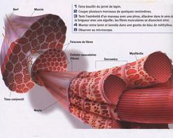 Muscle structure expérimentation