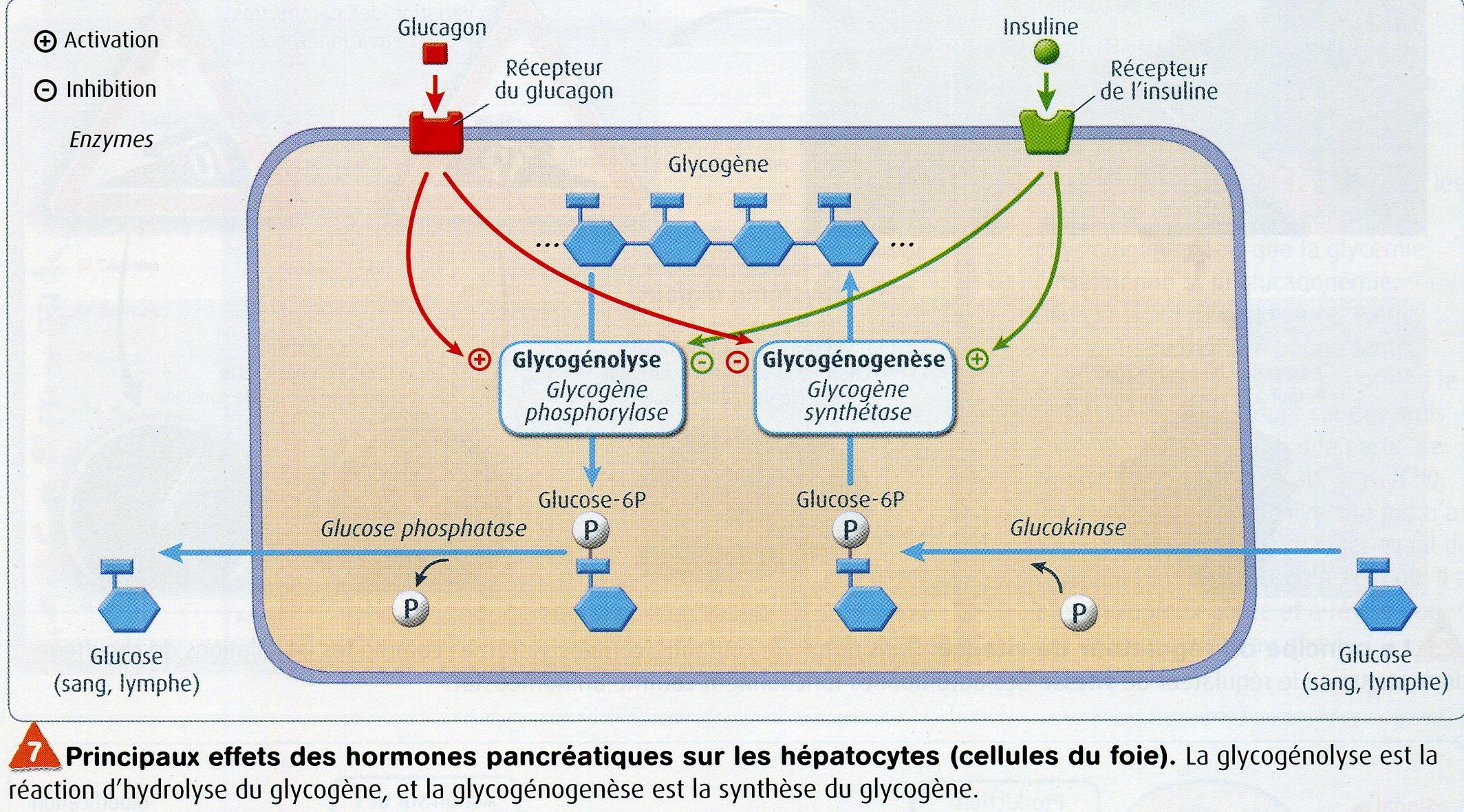 Effet insuline glucagon