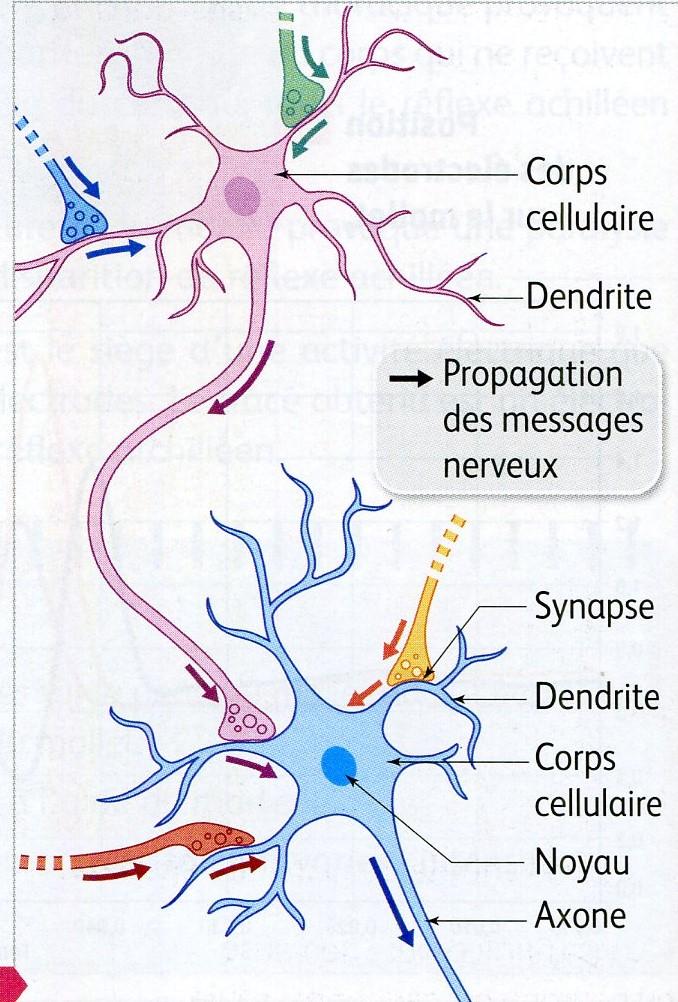 Connexion neuroniques