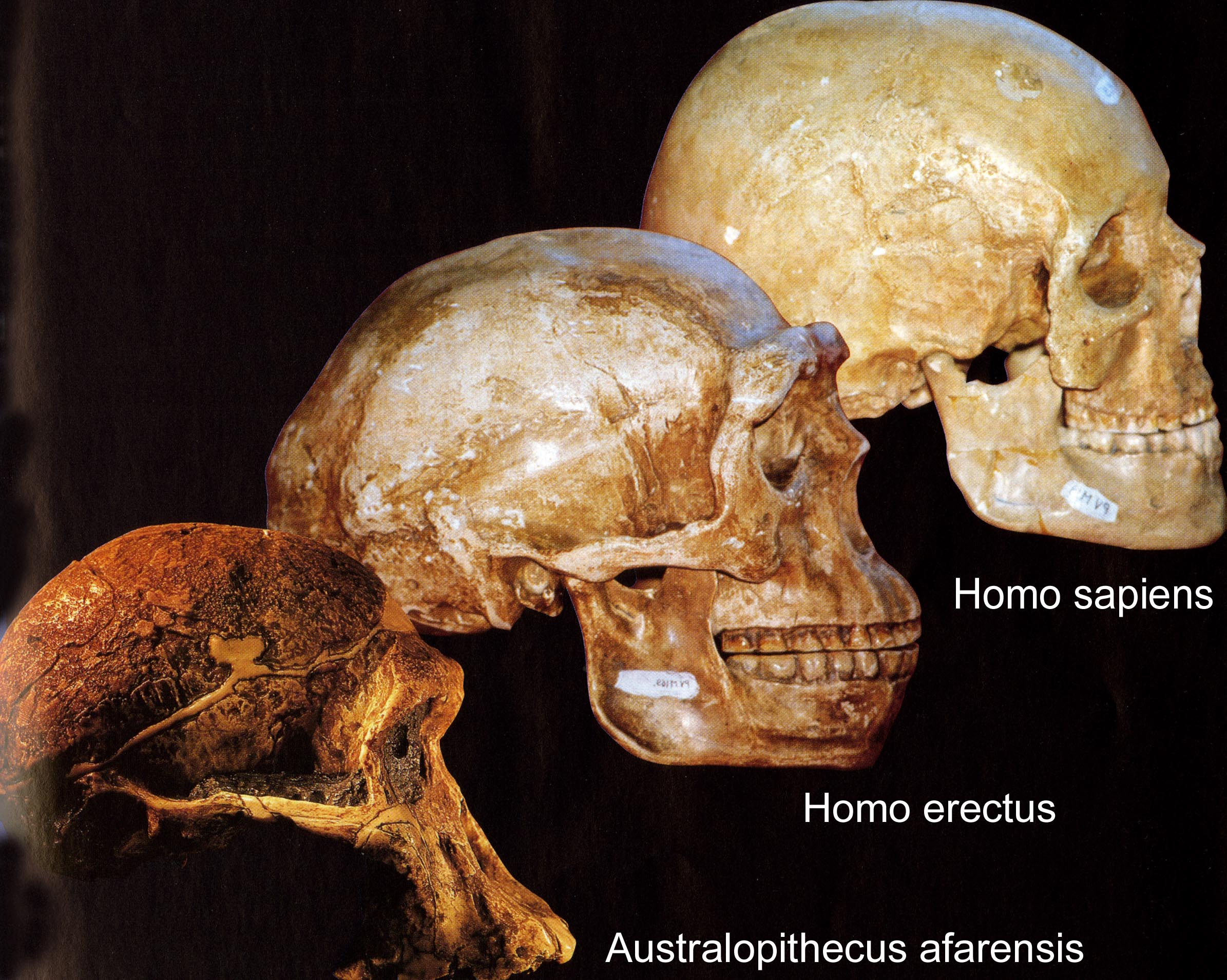 Cranes hominoides évolution