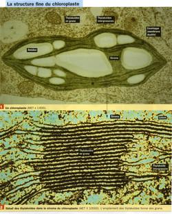 Chloroplastes structure 1