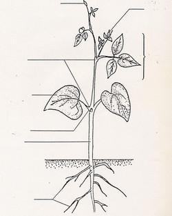 Plante à légender Haricot