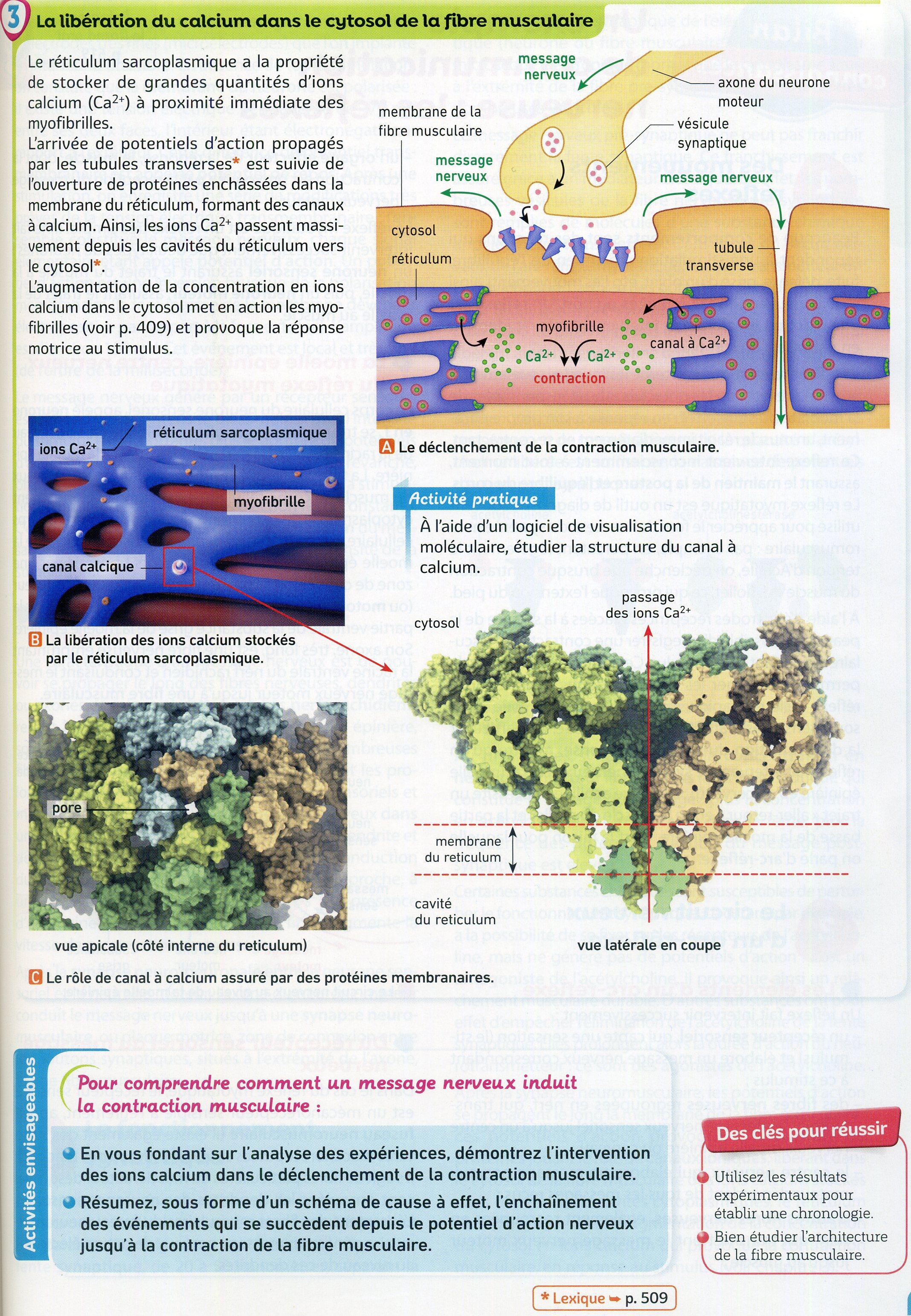 Activité 4 jonction nerf muscle (2)