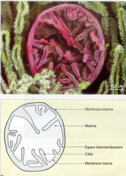 Mitochondrie structure
