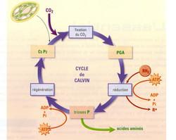Cycle de Calvin schématisé