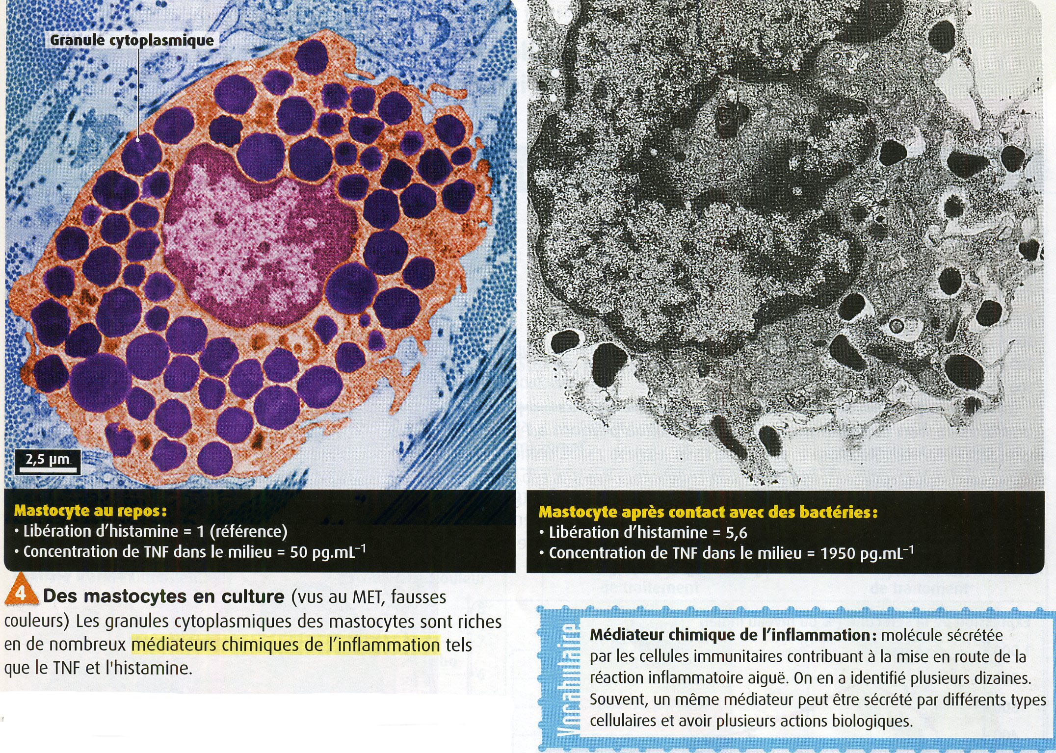 Mastocyte et granulation