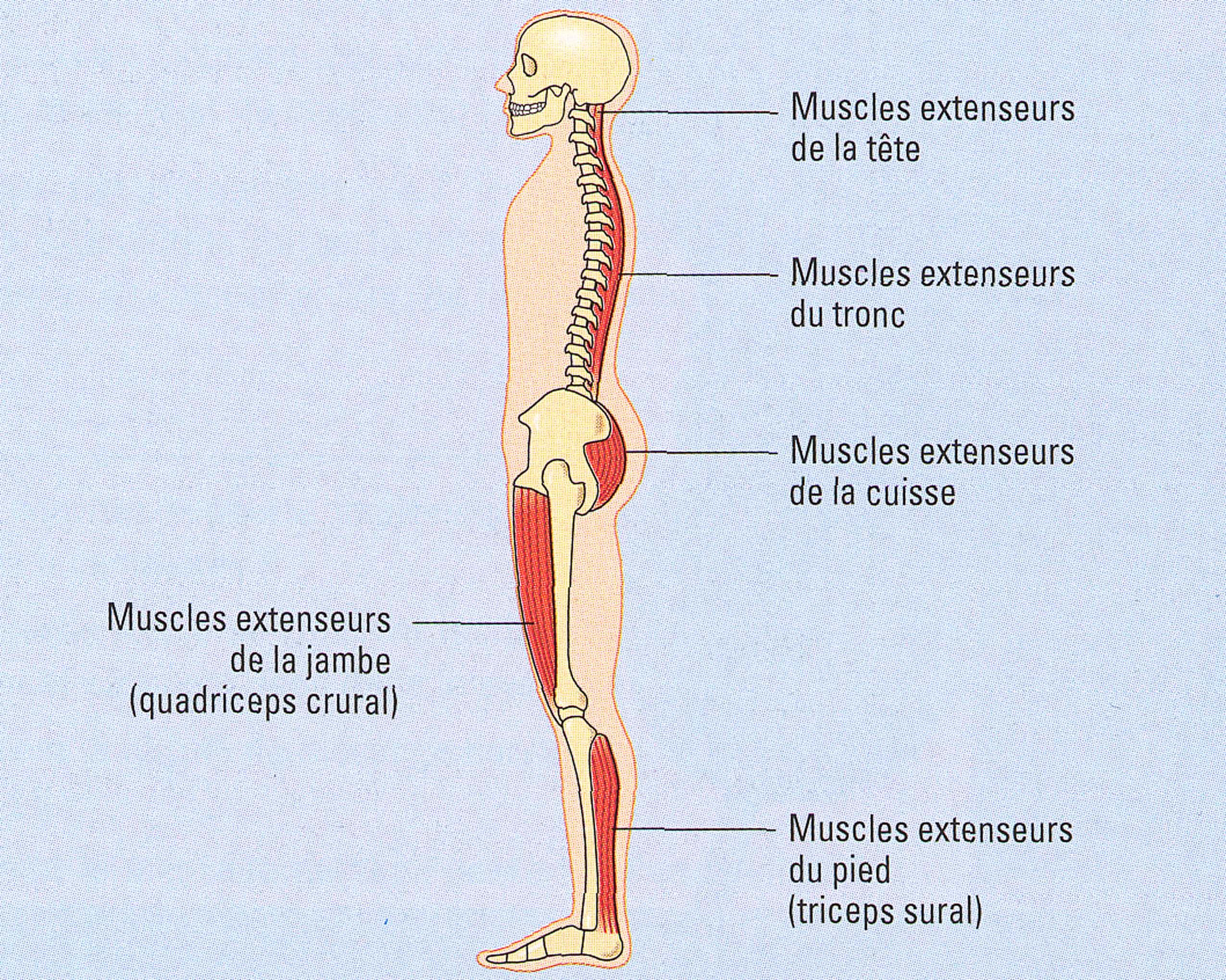 Posture et muscles anti-gravitaires
