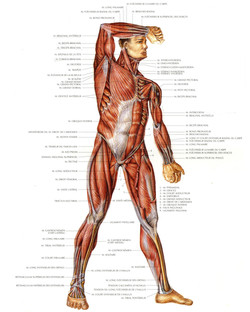 Muscle face ventrale A3