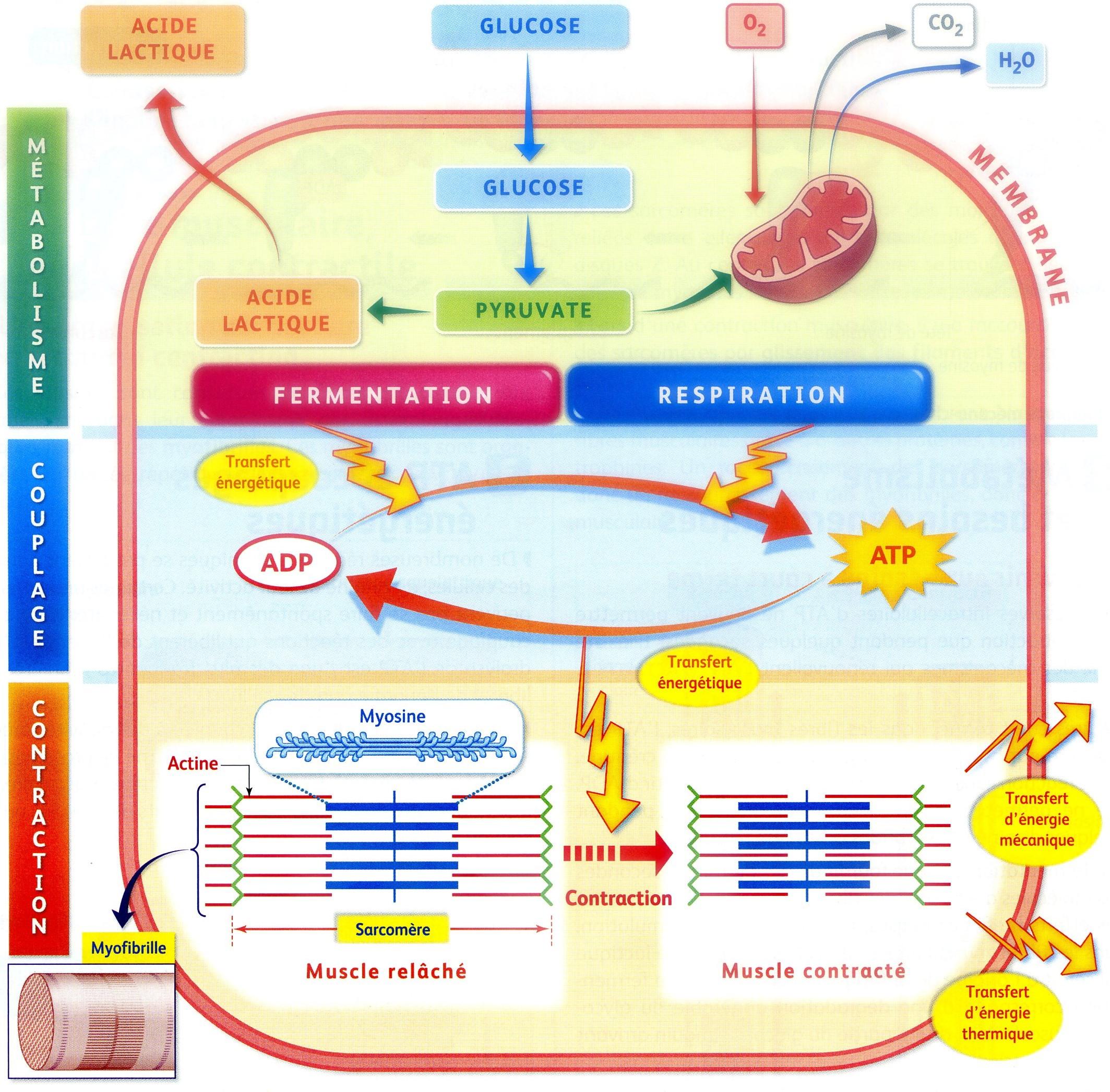 Bilan ATP activité musculaire