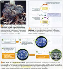 Transgénèse végétale