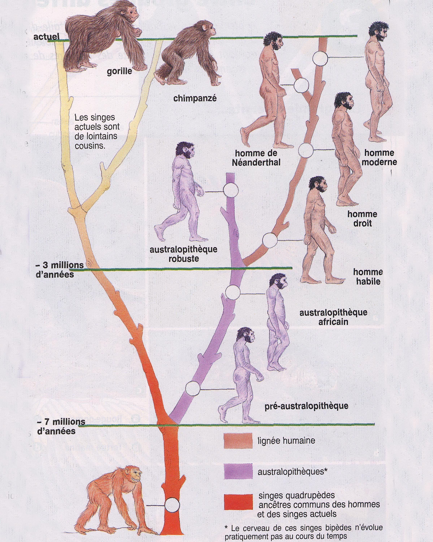 Evolution lignée humaine
